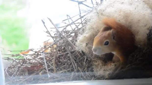 Белка построила за окном мужчины гнездо и привела бельчат