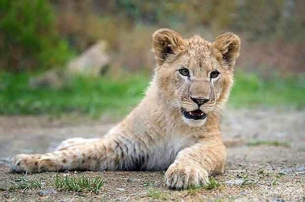 Натан. Сейчас Натану около года, и он вырос, не имея возможности общаться с другими львами. Заказник собирается постепенно адаптировать его к новым условиям и к новой компании.