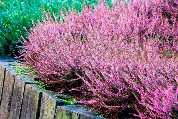 Лекарственное растение Вереск обыкновенный (Calluna vulgaris)