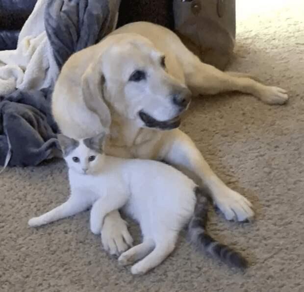 Пожилой лабрадор «удочерил» новорожденного котенка. Милее семьи не найти!