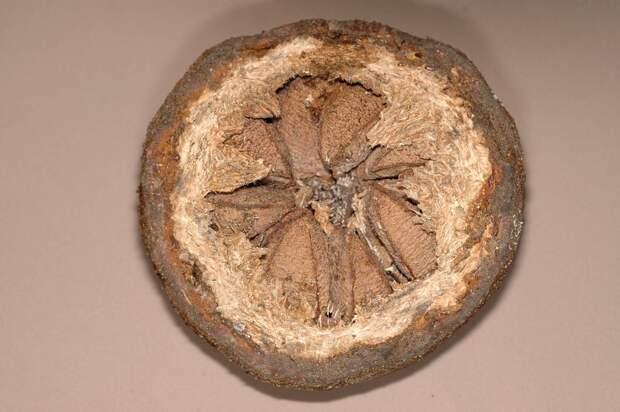 Плод бразильского ореха в открытом виде. Фото: C. E. Timothy Paine/Flickr.com
