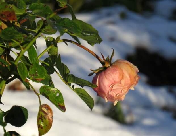 В морозном Петербурге неожиданно расцвели розы и поспела брусника