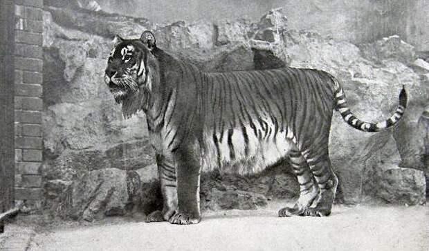 13. Туранский тигр вымерли, животные, история, человек