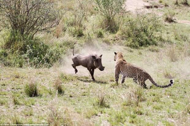 Ну как тягаться со скоростью и быстротой реакции леопарда? битва животных, бородавочник, заповедник, кения, леопард, масаи-мара, самка, схватка