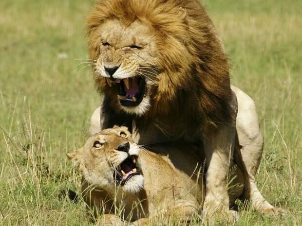 Половые гиганты в мире животных - самые любвеобильные животные