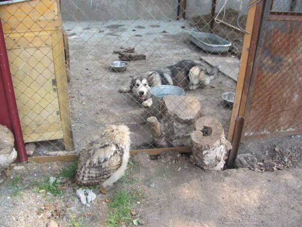 Стая ворон напала на беззащитного птенца филина ворон, гнездо, птица, сова, филин