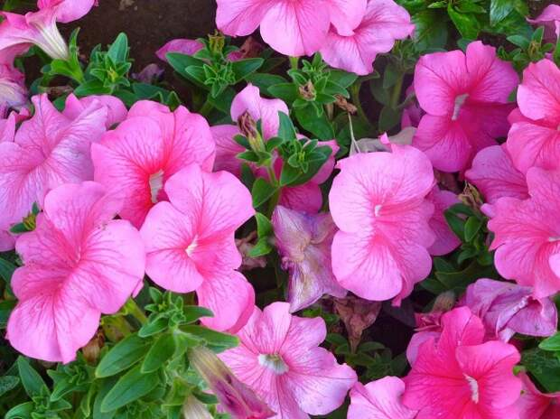 Роскошная крупноцветковая петуния