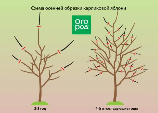 Схема обрезки карликовой яблони