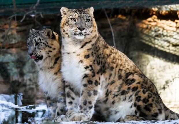 3. Снежный барс барс, коала, панда, редкие животные, тигр