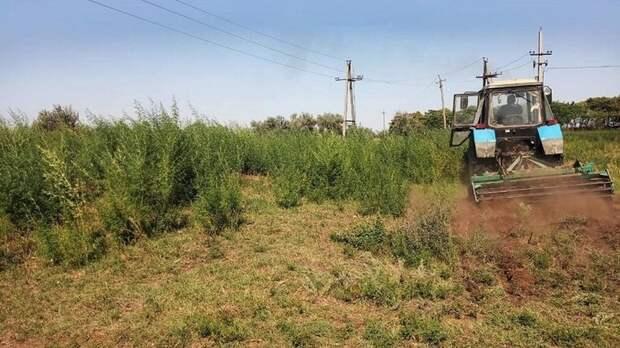 В Ставропольском крае уничтожили 6,7 га дикорастущей конопли