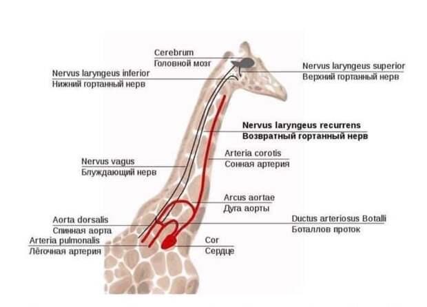 Возвратный гортанный нерв, как доказательство теории эволюции