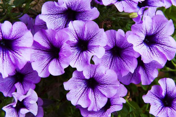 Среди летников, украшающих цветники во всех странах, чаше всего встречается петуния