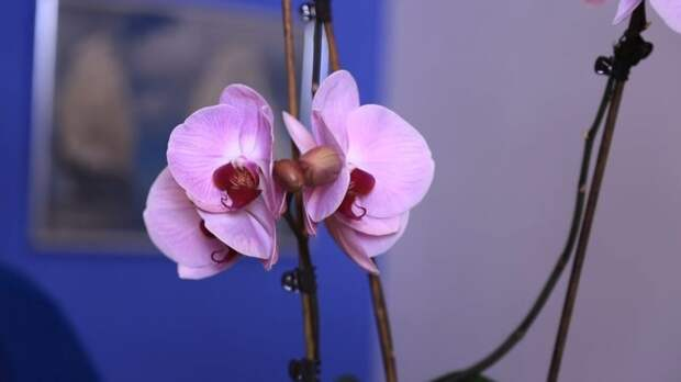 Как при помощи аптечного средства вернуть орхидее рост и цветение