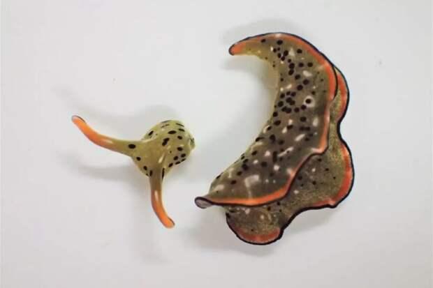 Морские улитки оказались способны регенерировать все тело из отделенной головы