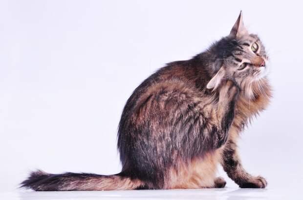 Горячие уши у кошки: как выяснить и устранить причину?