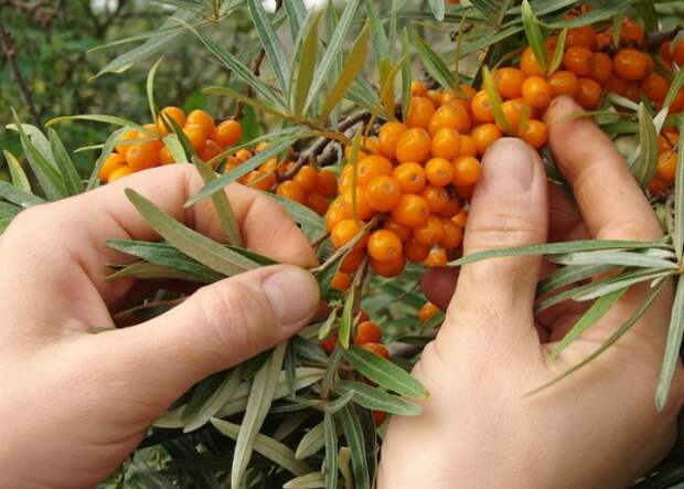 Как и когда собирать урожай облепихи: способы и приспособления