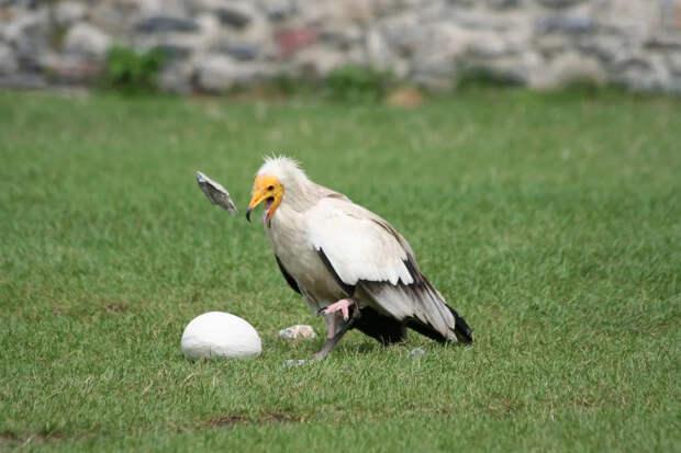 Обыкновенный стервятник: Последний в цепи падальщиков. Птица, которая ест объедки от объедков