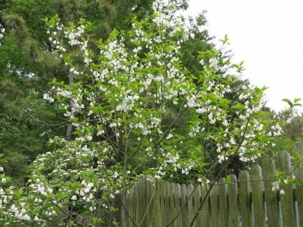 Ландышевое дерево, или Халезия, или Галезия каролинская