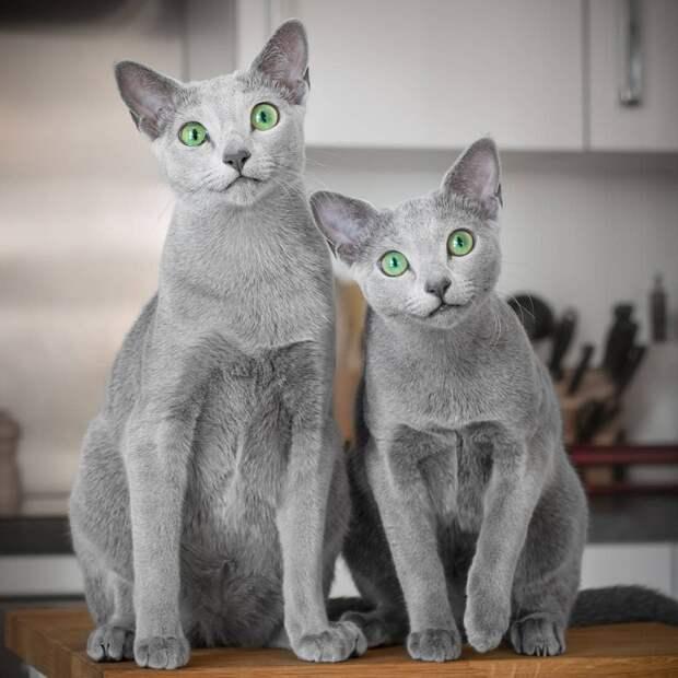7 фото русских голубых кошек с фантастически красивыми глазами
