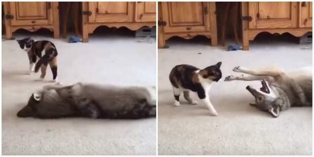 Волчонок решил напугать домашнюю кошечку и показать, кто круче видео, волк, животные, кошка, милота, реакция