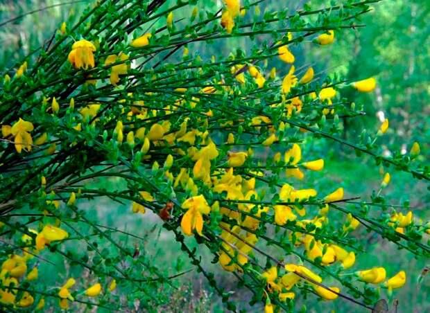 Лекарственное растение Жарновец метельчатый (Sarothamnus scoparius)