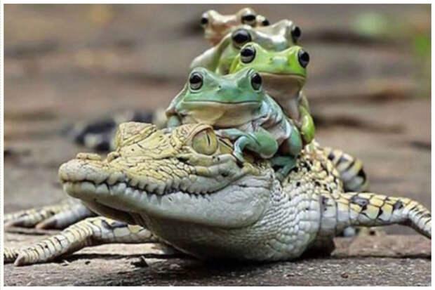 Самец крокодила может иметь до двенадцати самок. Он часто зовет свой гарем для помощи в разделке большой туши добычи. аллигатор, интересное, крокодил, природа, факты, фауна