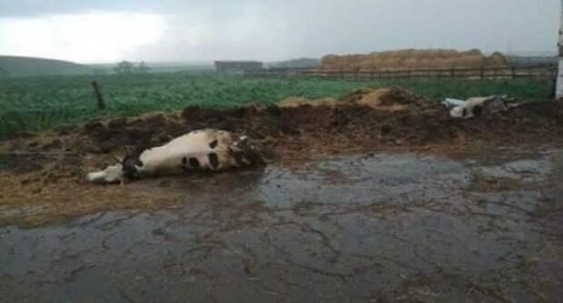 ВТатарстане жертвами непогоды стали 57 коров
