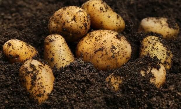 Молодая картошка в октябре? Выращиваем без проблем!