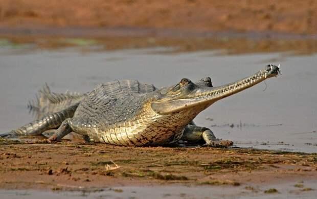 Гангский гавиал: самый древний крокодил с интересными особенностями ;)
