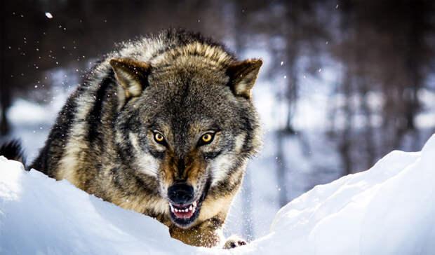 Как противостоять стае волков и уйти: советы егерей