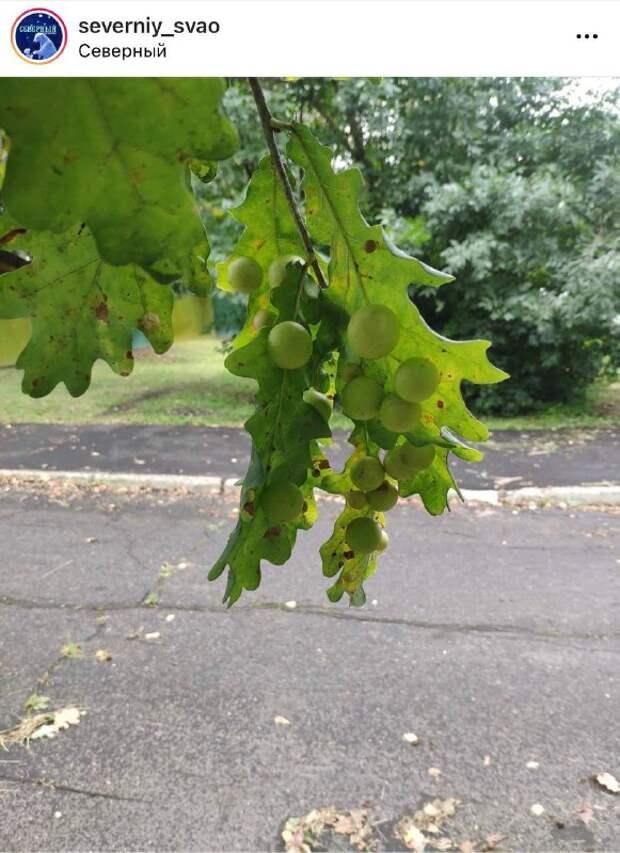 Фото дня: «дубовый виноград» в Северном