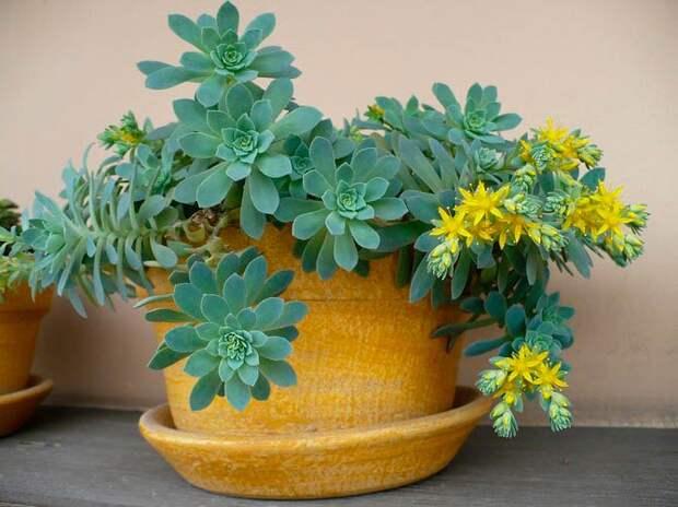Комнатное растение Очиток (Sedum)