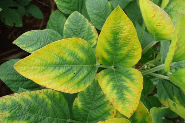 Азот для растений. Как узнать и вылечить дефицит азота?