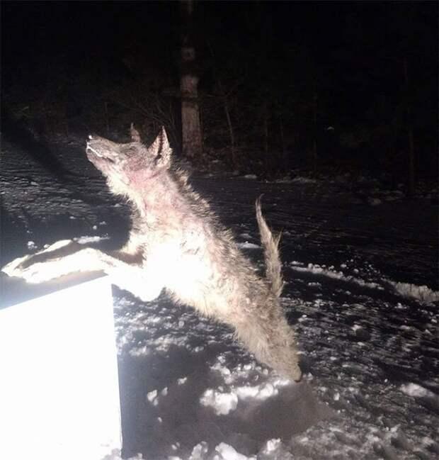 70. Замерзший койот животные, мир, подборка, природа, ужас, фото, явление