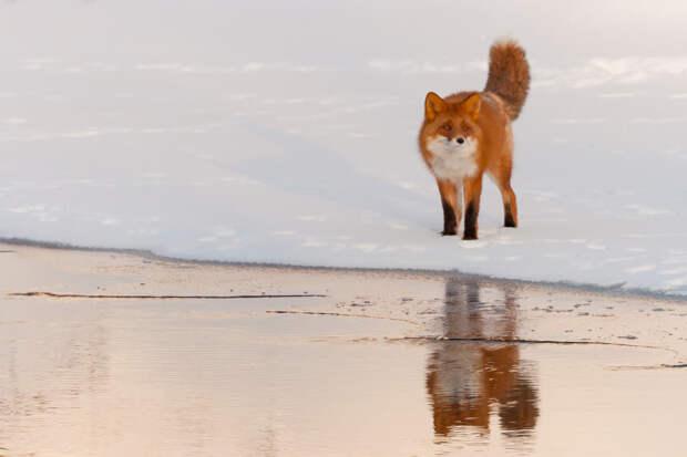 Камчатские лисы