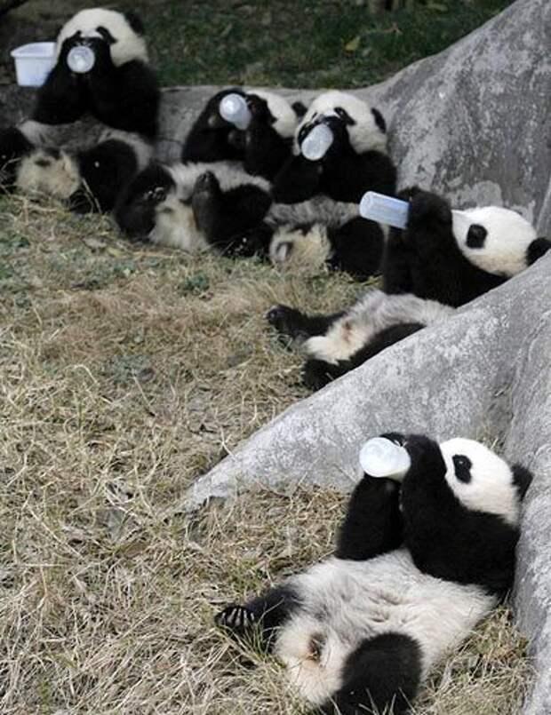 "Fun Corner "" Pandas Love Milk"