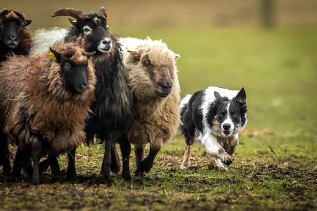"""3 место в категории """"Собаки за работой"""" - Петер Стефенсен, Дания Кеннел клаб, животные, конкурс, лондон, портрет, собаки, фото, фотография года"""