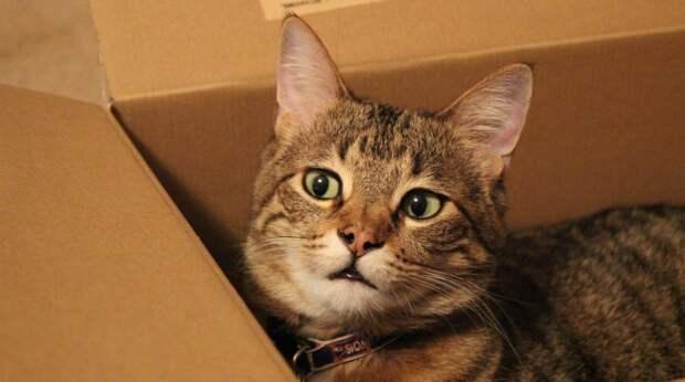 Почему кошки обожают картонные коробки