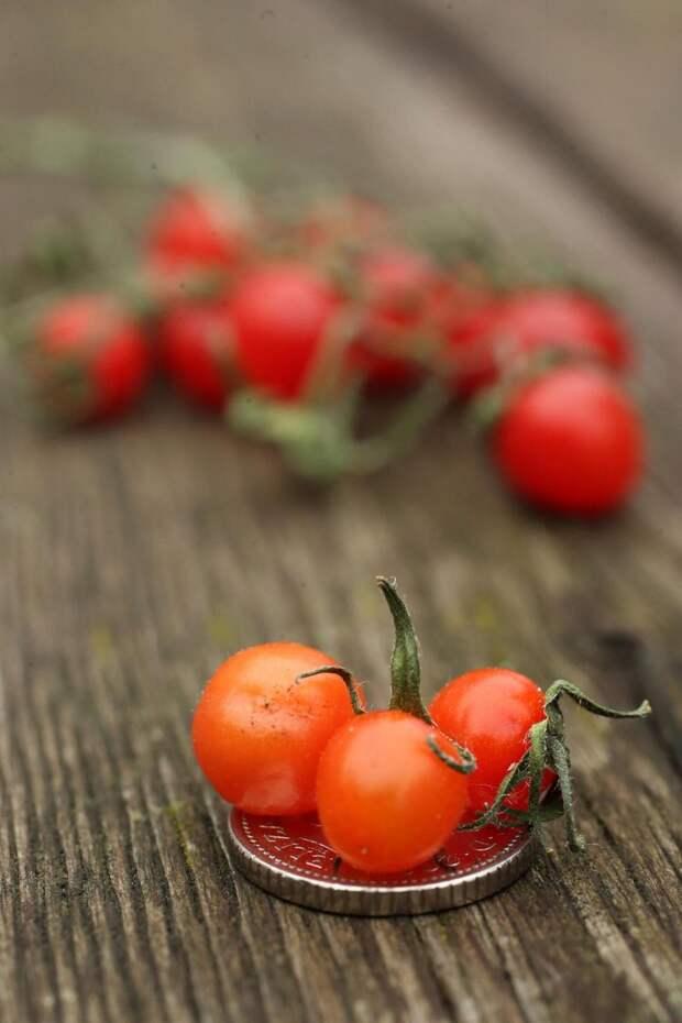 Томат смородинный: вкусная дикая ягода