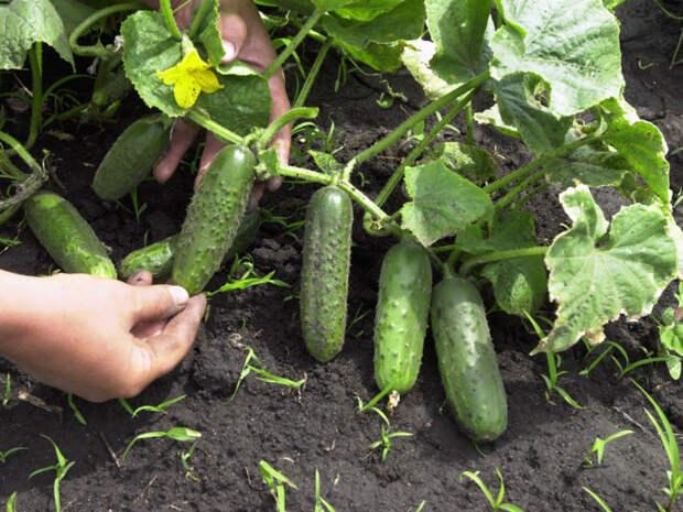 Держись, огурец! Три главные напасти зеленцов и методы борьбы с ними