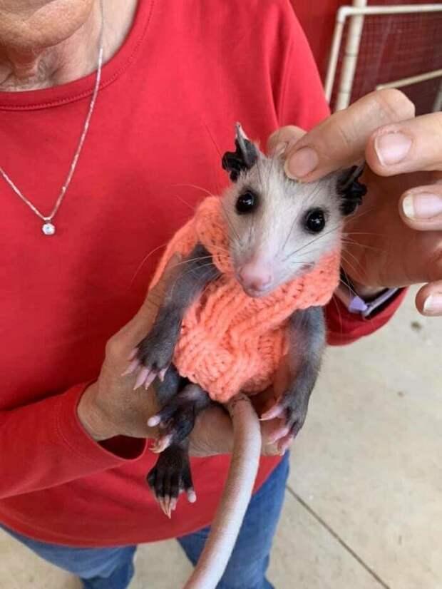 ВТехасе добрые самаритяне вяжут свитера для лысого опоссума