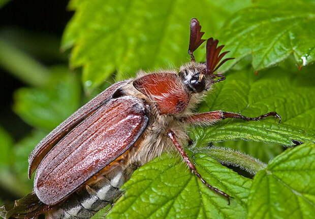 Как поймать и обезвредить майского жука