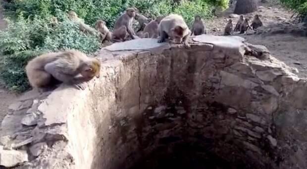 Обезьяны спасли жизнь… леопарду! Пара горящих глаз в глубине колодца едва не погасла навсегда…