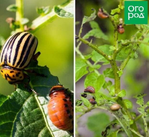 колорадский жук симптомы наличия меры борьбы