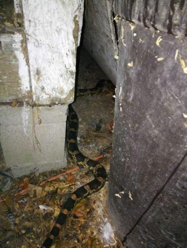 Женщина с удивлением обнаружила змею, свернувшуюся калачиком под курицей