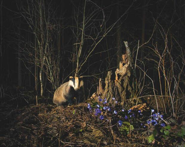 Барсучиха у распустившейся печеночницы благородной. С наступлением темноты звери выходят из нор и некоторое время сидят, принюхиваясь и прислушиваясь, — не грозит ли опасность? Впереди — целая ночь активной жизни.