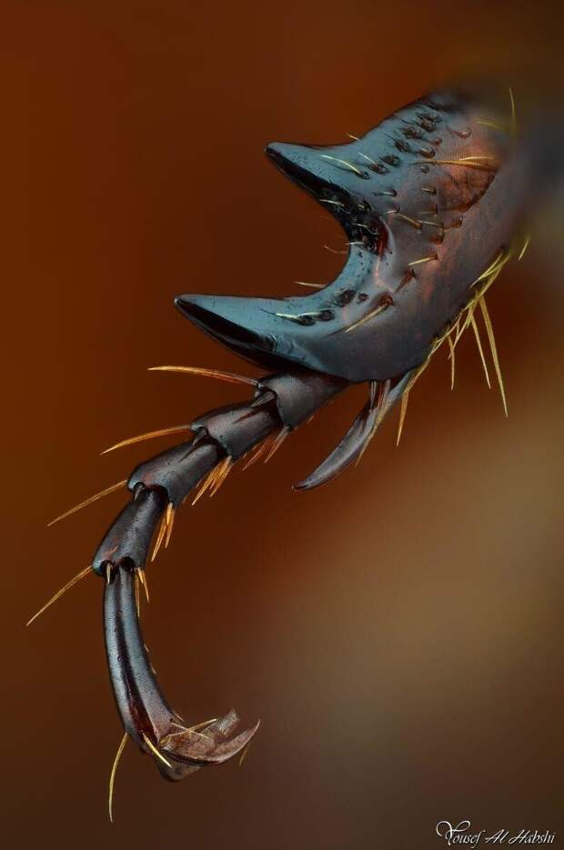Нога арабского жука