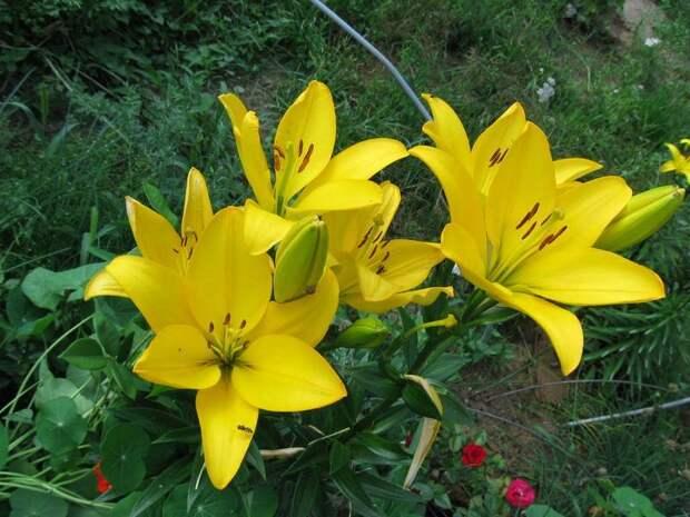 Азиатская лилия сорт Нове Центо фото (Nove cento)