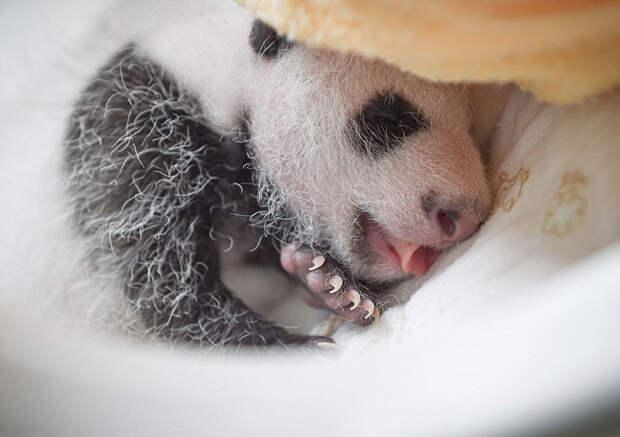 Умиляющее зрелище: милые маленькие медвежата панды вкорзинках