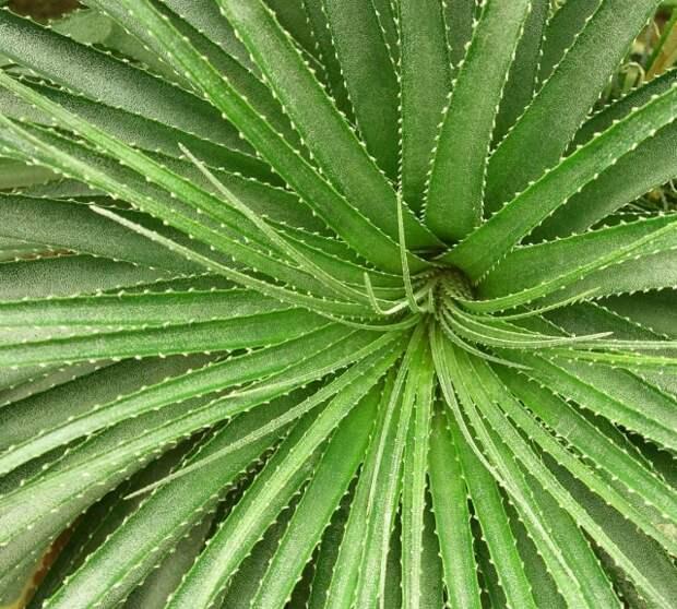 Розетка листьев гехтии - очень эффектное украшение этого растения